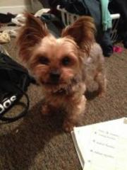 lost and found: yorkie with pink collar missing; samsung galaxy found